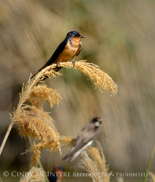Barn swallow fg, bank swallow bg, Bear R UT