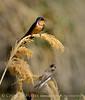 Barn swallow fg, bank swallow bg, Bear R UT
