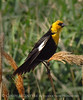 Yellow-headed blackbird male, Bear River NWR UT (4)