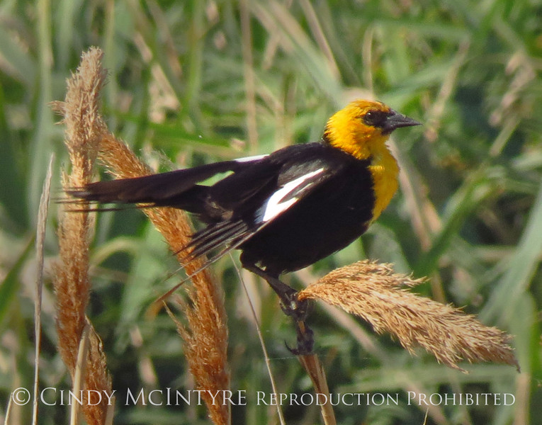 Yellow-headed blackbird male, Bear River NWR UT (1)