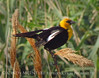 Yellow-headed blackbird male, Bear River NWR UT (1)