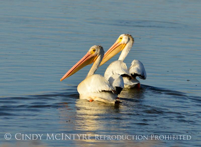 White pelicans, Bear River NWR UT (2)