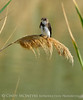 Bank Swallow, Bear R NWR UT (2)