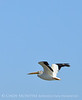 White pelican in flight, Bear River NWR UT (1)