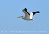 White pelican in flight, Bear River NWR UT (3)