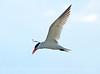 Caspian Tern, Bear River Migratory Bird Refuge, UT (4)