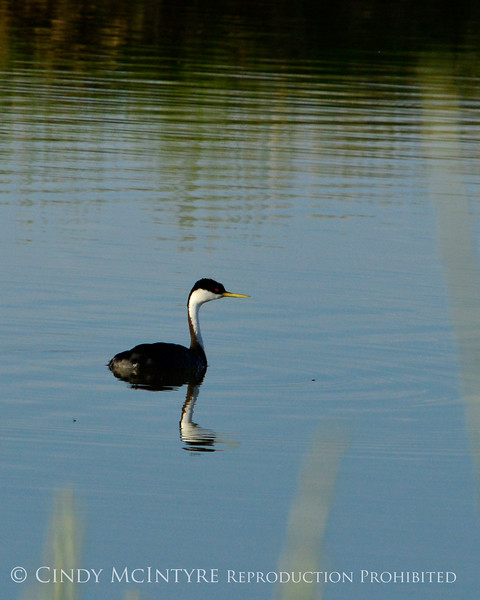 Western grebe, Bear River NWR UT (1)