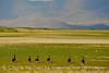 Canada geese, Bear River NWR UT (3)