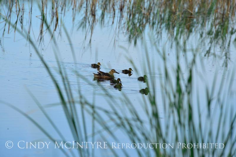 Ducklings,Bear River NWR UT (3)