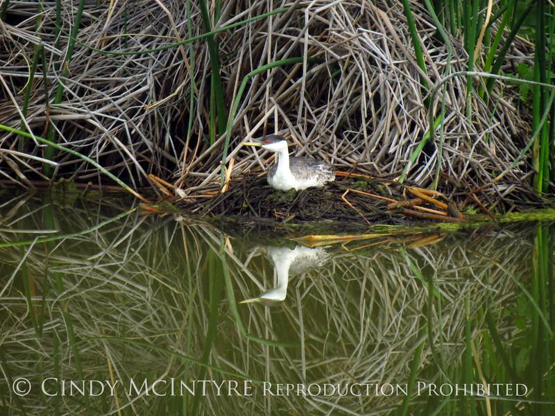 Western grebe on nest, Bear River NWR UT