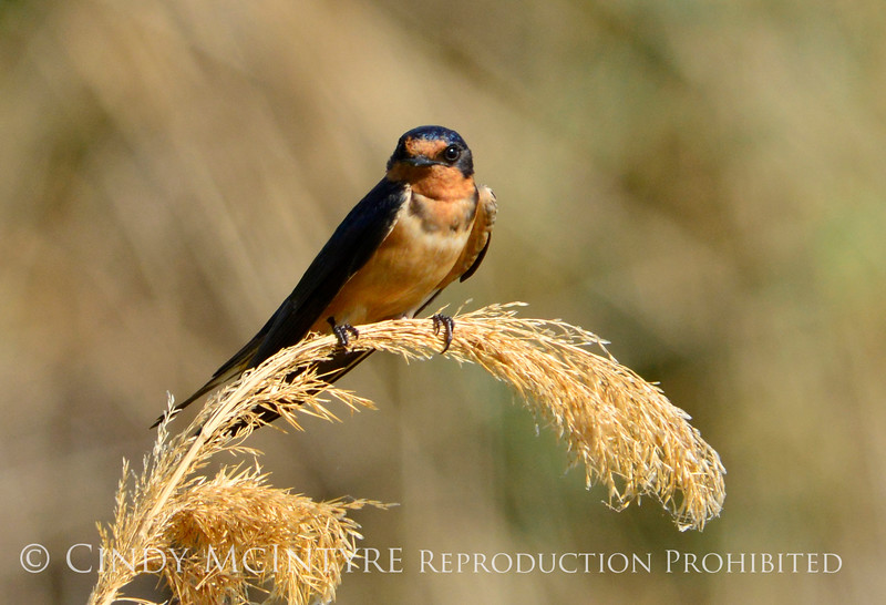 Barn Swallow, Bear R NWR UT (3)