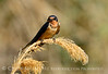 Barn Swallow, Bear R NWR UT (3)
