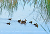 Ducklings,Bear River NWR UT (4)