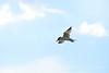Caspian Tern, Bear River Migratory Bird Refuge, UT (6)