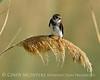 Bank Swallow, Bear R NWR UT (1)