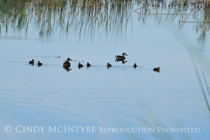 Ducklings,Bear River NWR UT (1)
