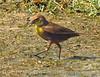 Yellow-headed blackbird female, Bear R NWR UT (1)