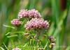 Swamp milkweed, Bear R NWR UT (2)