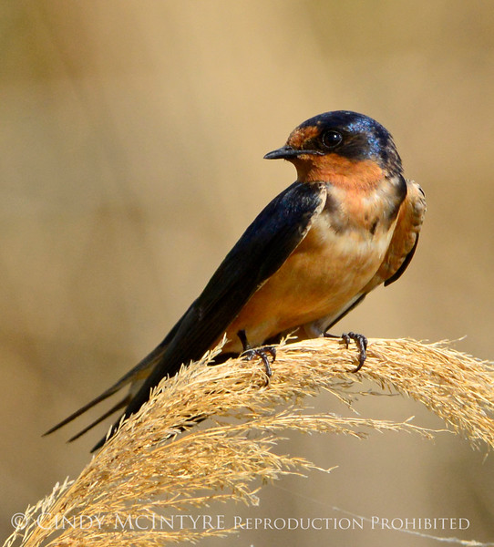 Barn Swallow, Bear River NWR UT 3 (1)