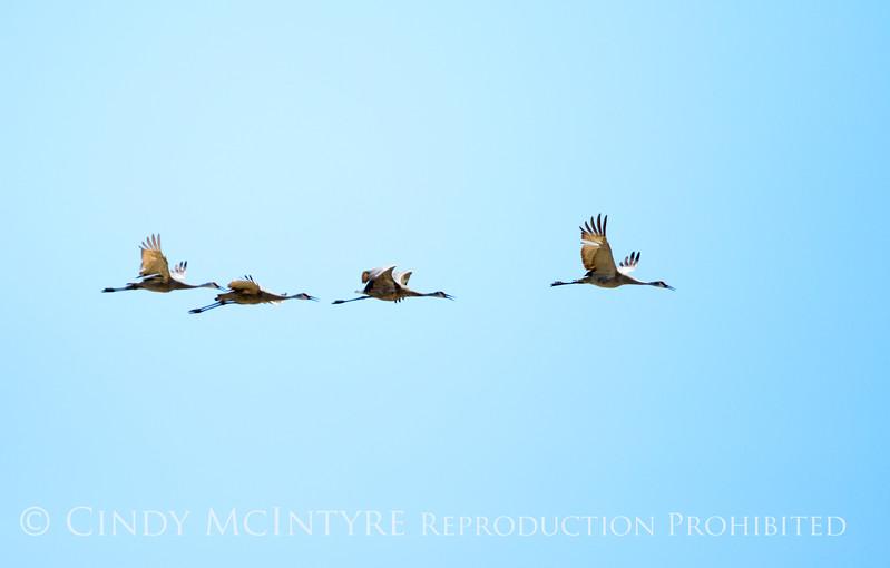 Sandhill cranes, Bear River NWR UT (2)