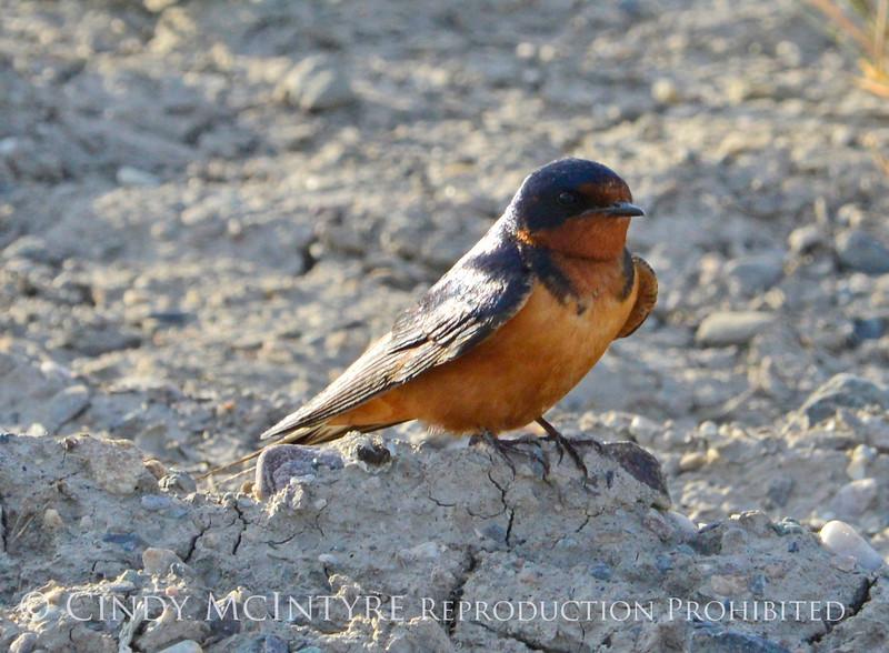 Barn Swallow, Bear R NWR UT (1)