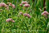 Swamp milkweed, Bear R NWR UT (1)