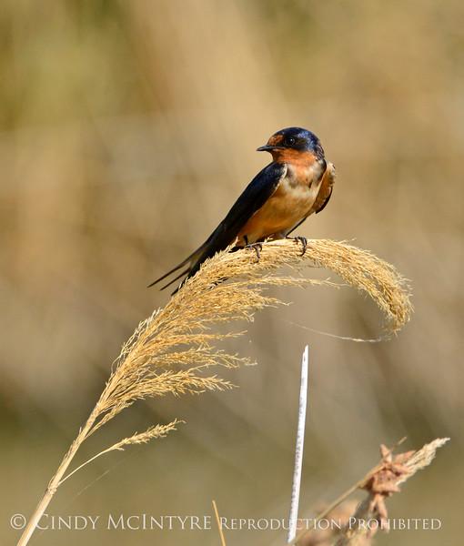 Barn Swallow, Bear River NWR UT 3 (2)