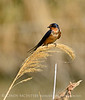 Barn Swallow, Bear River NWR UT 3 (2)