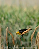 Yellow-headed blackbird male, Bear R NWR UT