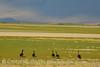 Canada geese, Bear River NWR UT (2)