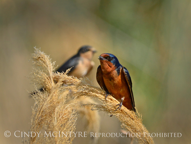 Barn Swallow, Bear River NWR UT 4 (1)
