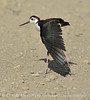 Black-necked stilt, Bear R NWR UT (1)