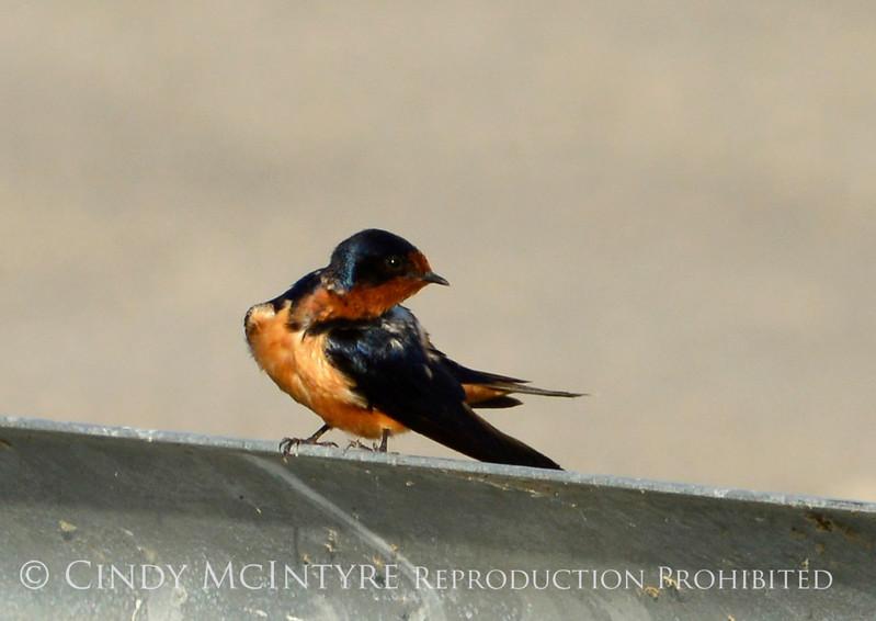 Barn Swallow, Bear R NWR UT (2)
