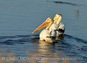 White pelicans, Bear River NWR UT (1)