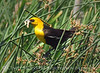 Yellow-headed blackbird male, Bear River NWR UT (12)