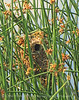 Marsh wren nest, Bear River NWR UT