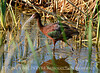Glossy Ibis, Bear River NWR UT