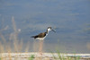Black-necked stilt, Bear R NWR UT (2)