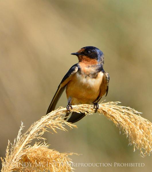 Barn swallow, Bear River NWR UT (2)