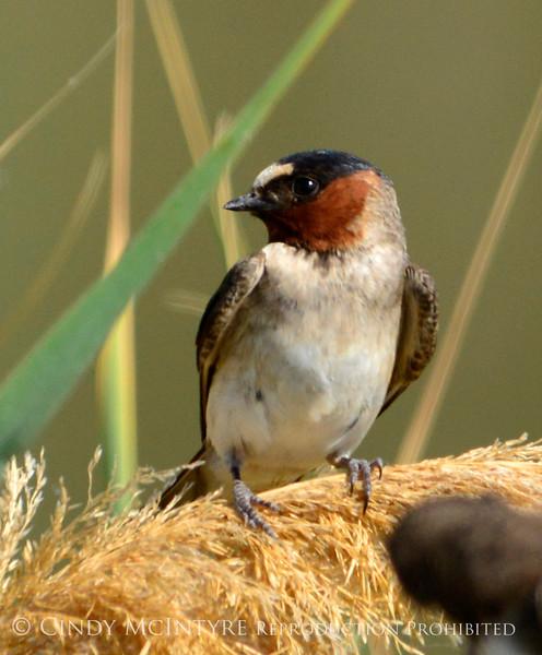 Cliff swallow, Bear River NWR UT (2)