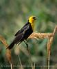 Yellow-headed blackbird male, Bear R NWR UT (3)