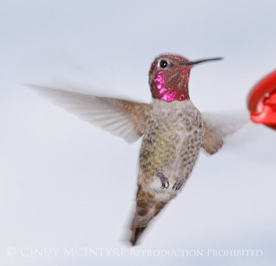 Big Bend Hummingbirds