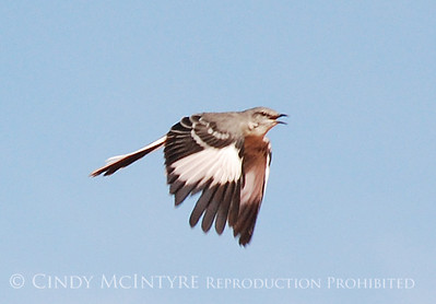 Big Bend Mockingbirds