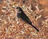 Black-tailed gnatcatcher female (5)
