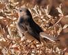 Black-tailed gnatcatcher female (6)