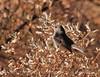Black-tailed gnatcatcher female (7)