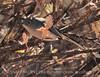 BlueGray Gnatcatcher (1)