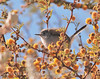 Black-tailed gnatcatcher in huisache