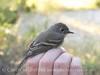 Dusky Flycatcher, JIBS, GA 10-1-2012 (21)