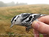Banding birds at Whigg Meadow